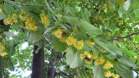 Linden tree with butterfly in the breeze stock video footage
