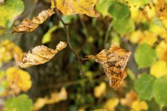 Linden tree fall royalty free stock photography