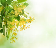 Linden Tree Flowers. Linden Tree (lime tree) flowers over blurred background.Herbal medicine Royalty Free Stock Photos