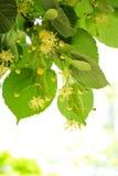 Linden tree flowers Stock Photos