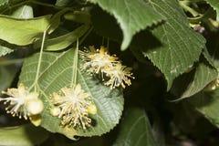 Linden Tree Flowers Immagine Stock