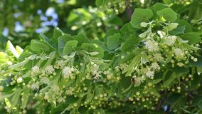 Linden tree flowers and bees stock video