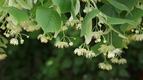 Linden tree flowers at branch, plant in spring stock video