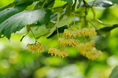 Linden tree flowers on branch Stock Image