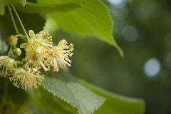 Linden Tree Flowers. On a green background Stock Photography