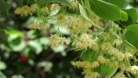 Linden tree flowers and hornet, plant in spring stock video footage