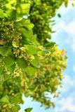 Linden tree flowers Stock Image