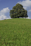 Linden Tree with hiker Stock Image