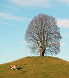 Linden Tree In Winter With Cow Royalty Free Stock Photo