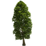 Linden Tree Isolated Stock Image