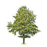 Linden tree isolated on white background Stock Photography