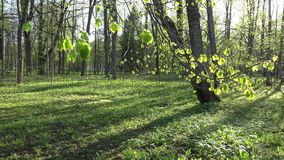 Linden tree leaves and buds move in wind in spring. 4K. Linden tree twig leaves and buds move in wind in spring season. Steel fence in park. Focus change shot stock video footage
