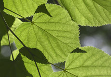 Linden tree leaves Royalty Free Stock Images