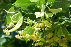 Linden Tree. (lime tree) linden blossom Royalty Free Stock Photos