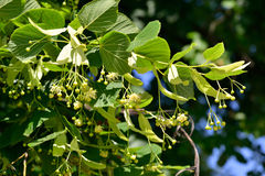 Linden Tree. (lime tree) linden blossom royalty free stock images
