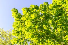 Linden Tree lime tree. Linden leaves bright green on blue sky. As background stock photography