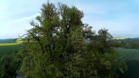 Linden tree stock video footage