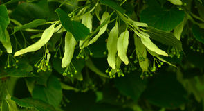 Linden tree. Natural medical blossom Royalty Free Stock Photography