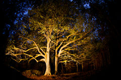 Linden tree. Old linden tree in the evening. Forest in autumn Stock Images