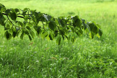 Linden tree over green grass. Stock Photos