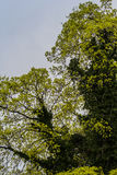 Linden tree. An overgrownd old Ivy linden tree brings fresh shoots in the spring Stock Photo