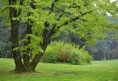 Linden Tree in Park. Big Linden Tree in Park with Early Spring Green Leaves Stock Photo