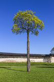 Linden tree in Pskov Kremlin, Russia. Russian tourist routes. Troitsky Cathedral in Pskov royalty free stock images