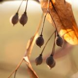 Linden tree seeds on a branch. Funny round linden tree seeds on a branch royalty free stock photos