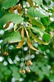Linden tree seeds closeup Stock Photos