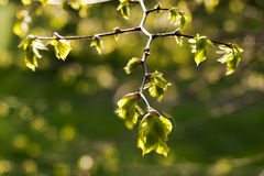 Linden tree in spring Royalty Free Stock Photography