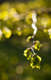 Linden tree in spring Royalty Free Stock Image