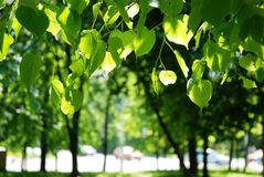 Linden tree in the spring in city Royalty Free Stock Photography