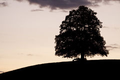 Linden Tree after Sunset Stock Photo