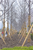 Linden-tree trees lined up at nursery Stock Photography