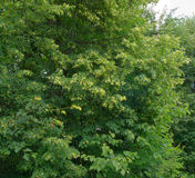 Linden tree. With yellow flowers Royalty Free Stock Photos