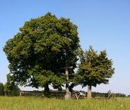 Linden trees Royalty Free Stock Photo