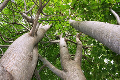 Linden Trees stock images