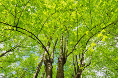 Linden trees. Group of linden trees with lush foliage Royalty Free Stock Images