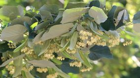 Linden trees in bloom. Early spring stock video