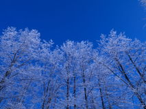 Linden trees covered with hoarfrost Royalty Free Stock Photo