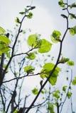 Linden trees Stock Photo