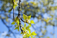 Linden trees in the spring. Photographed close-up of young green leaves of linden trees in the spring time of the year, the month of April, defocus stock image