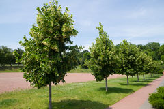Linden trees Stock Photos
