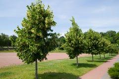 Linden trees stock photos