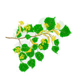 Linden twig with flowers vector illustration. Without gradients stock illustration