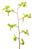 Linden twig at spring Stock Photography