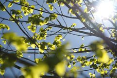 Linden twigs and spring sun shining through young leaves. royalty free stock photo