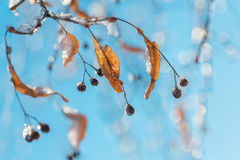 Linden twigs in winter Stock Photography