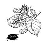 Linden vector drawing set. Isolated lime tree flower and leaves. Herbal engraved style illustration. Detailed botanical sketch for tea, organic cosmetic Royalty Free Stock Image