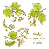 Linden vector set. Linden branches vector set on white background Stock Photos